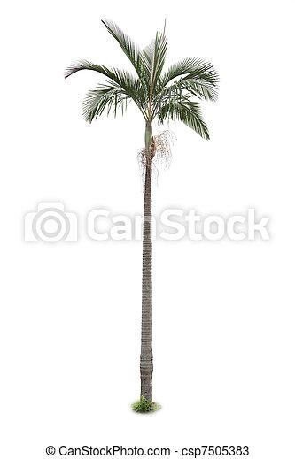 palm, vit, träd, isolerat, bakgrund - csp7505383