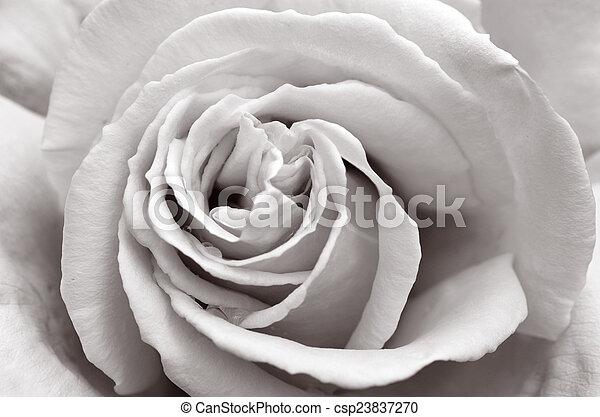 palmerston, nzl, norte, jardín, rosa - csp23837270