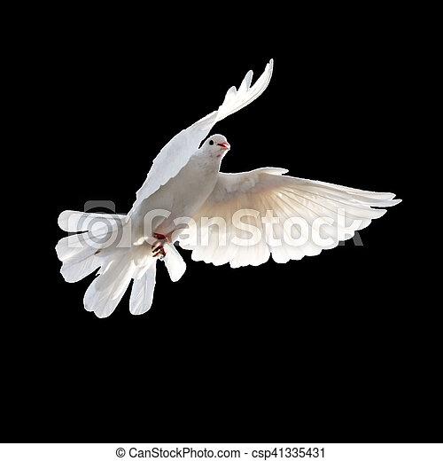 Paloma blanca en un fondo negro - csp41335431