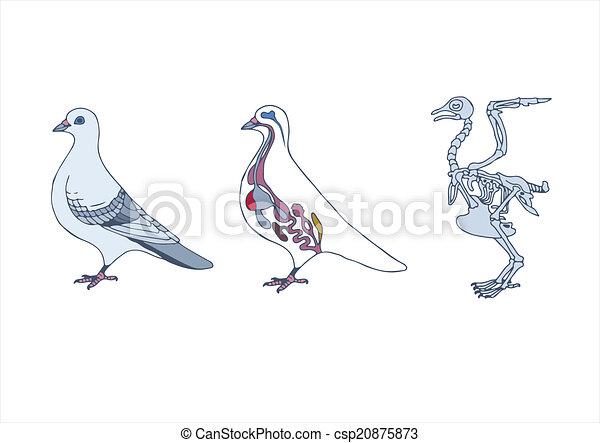 Paloma, pájaro. Anatomía, zoología, pájaro, sección transversal ...