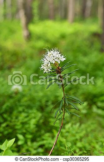 Blomming Ledum Palustre - csp30365295