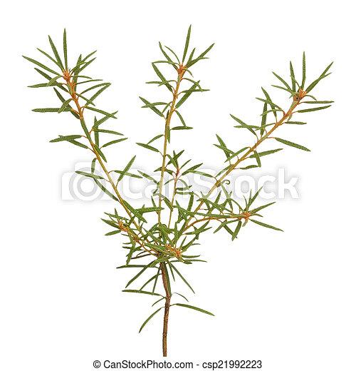 Planta Ledum Palustre aislada en fondo blanco - csp21992223