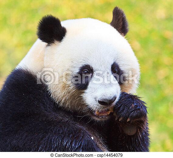 Panda bear - csp14454079