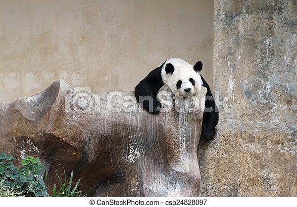 panda bear resting - csp24828097