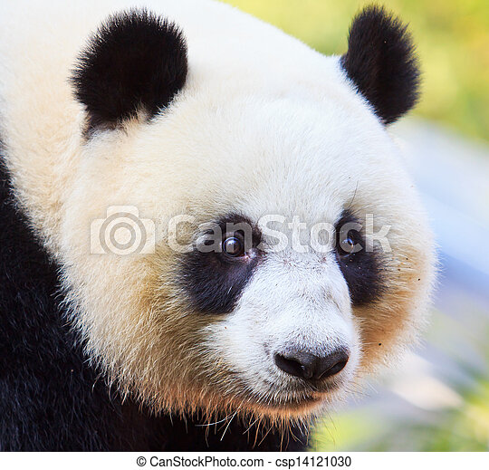 Panda bear - csp14121030