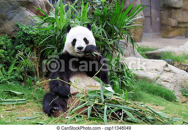 Panda gigante - csp11348049