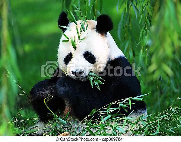 Panda gigante - csp0097841