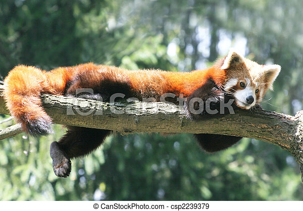 panda, rouges - csp2239379