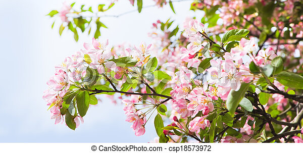 Pano apple blossom in spring - csp18573972