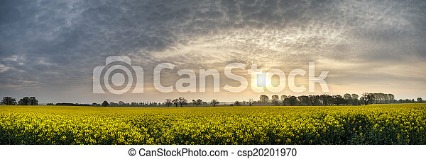 Panorama landscape rapeseed canola field in diffuse hazy morning - csp20201970