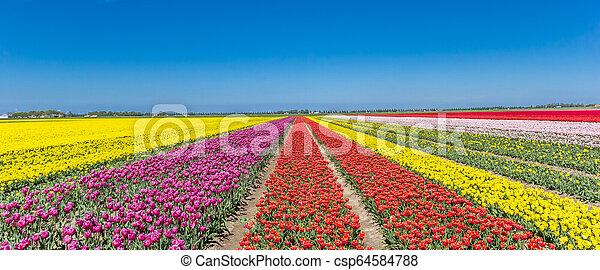 Panorama of a colorful tulips field in Noordoostpolder - csp64584788