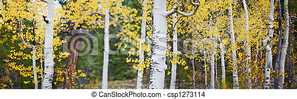 Panoramic of aspen trees - csp1273114