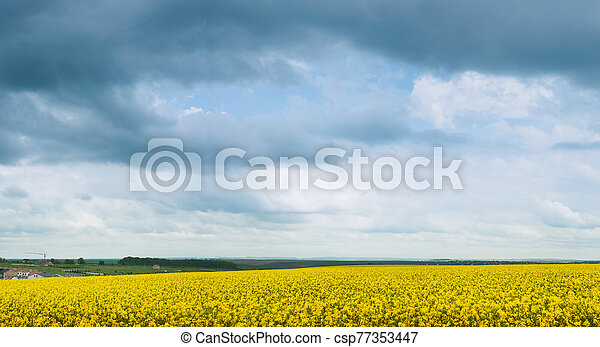 panoramic view blooming canola and grey storm clouds. - csp77353447