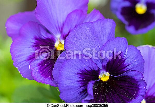 Pansy flower in dark violet purple petals with yellow middle blurred pansy flower in dark violet purple petals with yellow middle blurred background csp38035355 mightylinksfo