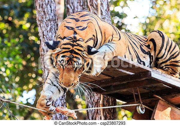 Alimentando al tigre de Bengala en el zoológico - csp23807293