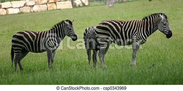 papa, safari, zèbres - csp0343969