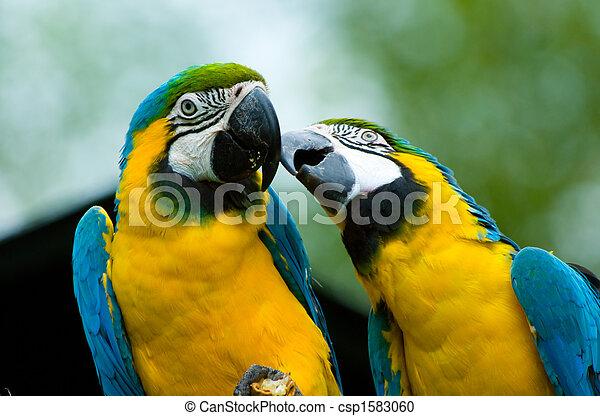 papagáj, szeret - csp1583060