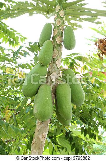 papaya on the tree - csp13793882