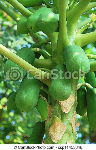Papaya on the tree - csp11455846