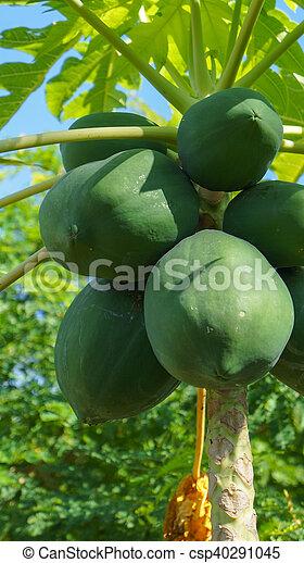 papaya tree - csp40291045