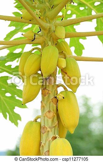 Papaya tree - csp11277105