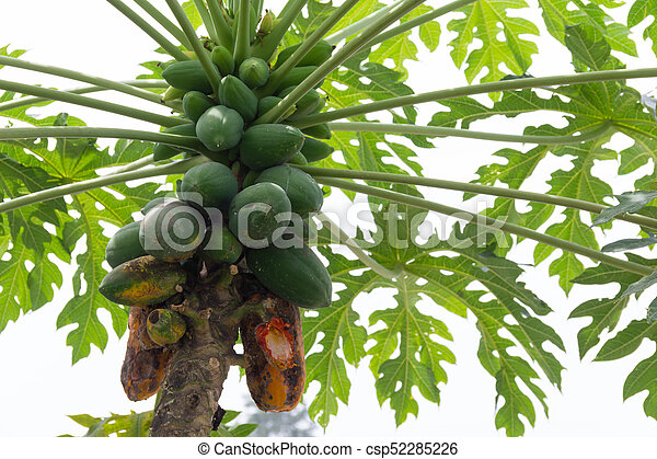 Papaya Tree With Of The Plant Disease Fruit On Not Ready For Harvest