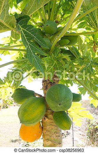papaye arbre fruitier papaye m re vert arbre fruit image de stock recherchez. Black Bedroom Furniture Sets. Home Design Ideas
