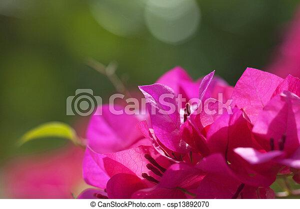 Paper flower bougainvillea glabra paper flower bougainvillea glabra csp13892070 mightylinksfo