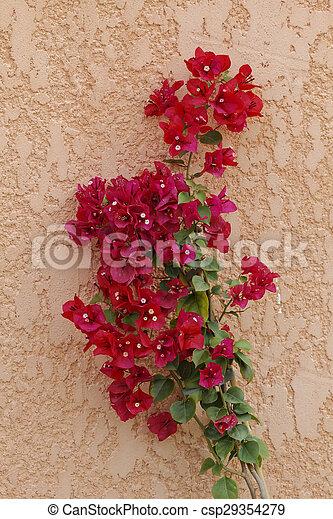 Paper flower bougainvillea glabra lesser bougainvillea from paper flower bougainvillea glabra csp29354279 mightylinksfo