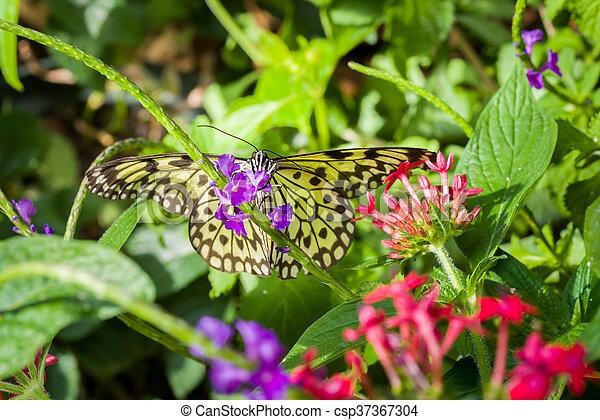 Paper kite butterfly paper kite butterfly resting on purple flowers paper kite butterfly csp37367304 mightylinksfo