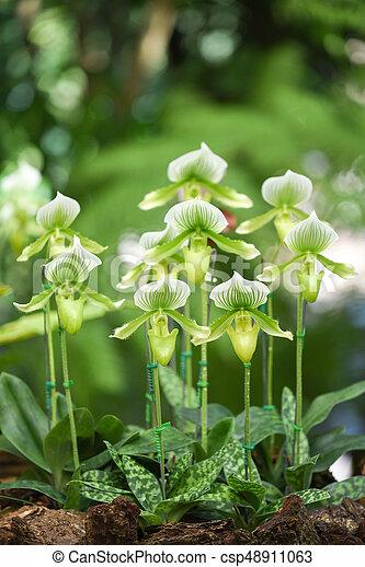 Paphiopedilum orchid in the garden - csp48911063