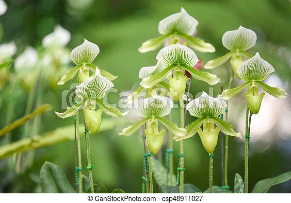 Paphiopedilum orchid in the garden - csp48911027