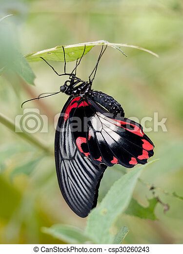 Papilio rumanzovia Scarlet Swallowtail butterfly resting on underside of leaf. - csp30260243