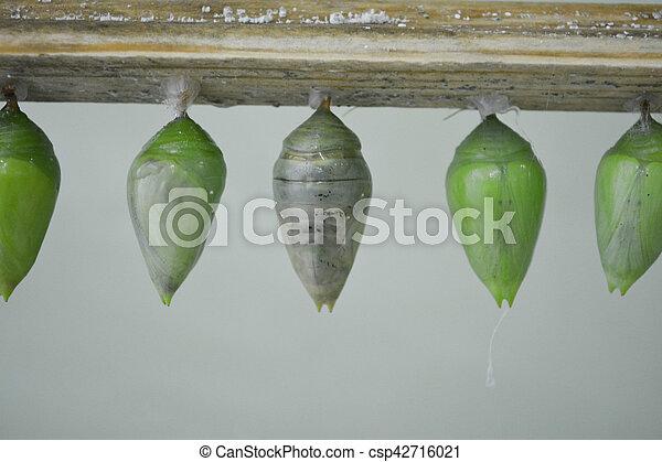papillon cocon exotique cocons papillons vert serre. Black Bedroom Furniture Sets. Home Design Ideas