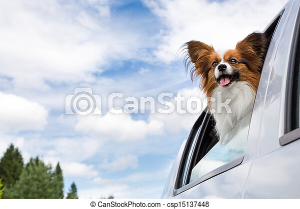 Papillon dog traveling in car - csp15137448