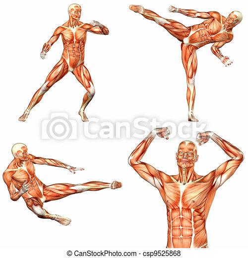 Anatomía corporal masculina - 2of3 - csp9525868