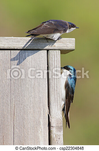 Par de Golondrinas en una casa para pájaros - csp22304848