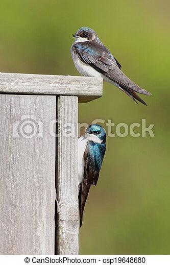 Par de Golondrinas en una casa para pájaros - csp19648680