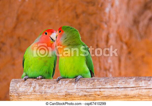 par, papegøjer, branch - csp67410299