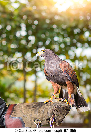 Parabuteo unicinctus - harris hawk in an animal center with paws on a protective glove - csp51671955
