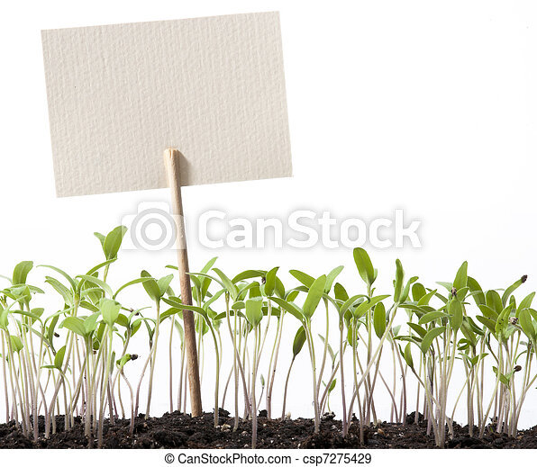 paradicsom, mutató, rajzóra osztály, seedlings - csp7275429