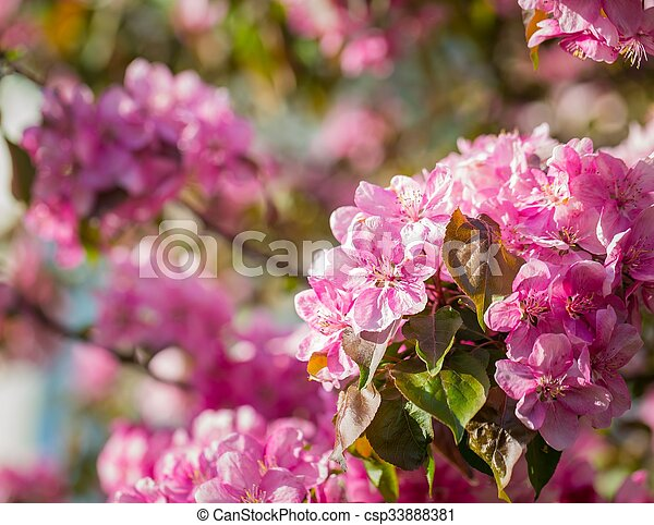 Paradise apple tree blooming malus pumila natural lovely pink paradise apple tree blooming stock photo mightylinksfo