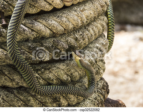 paradise flying snake on a rope in Thailand - csp32522082