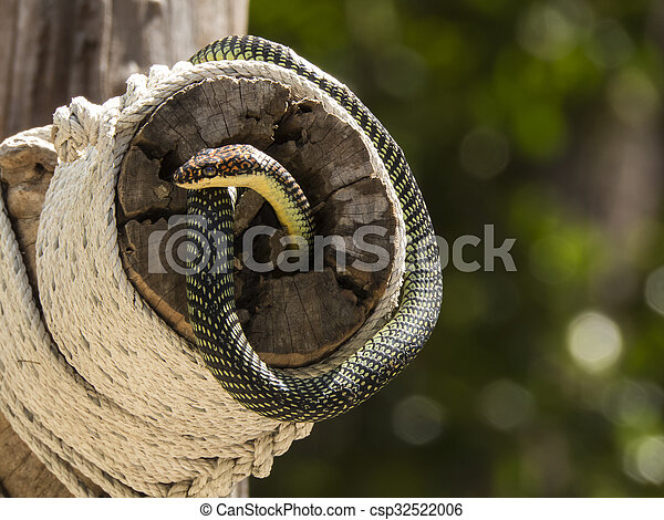 paradise flying snake on a rope in Thailand - csp32522006