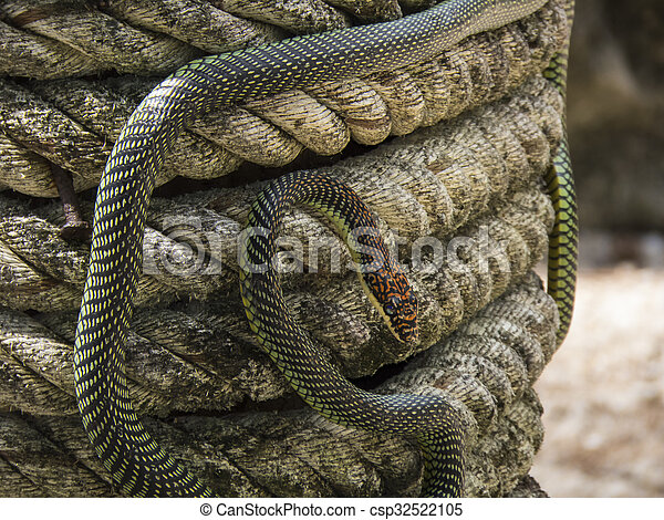 paradise flying snake on a rope in Thailand - csp32522105
