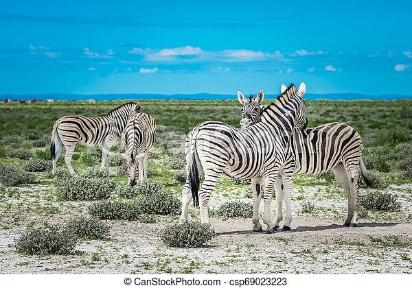 parc, national, namibie, zèbres, etosha - csp69023223