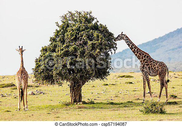 parc, safari, girafes - csp57194087