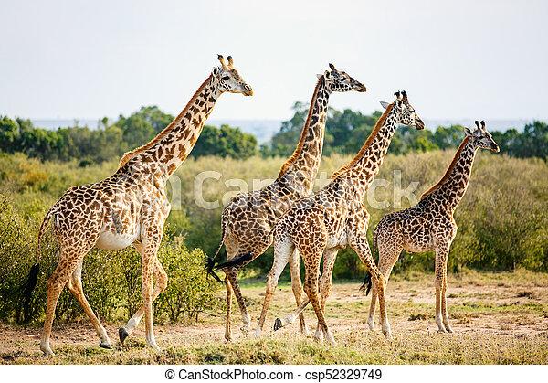 parc, safari, girafes - csp52329749