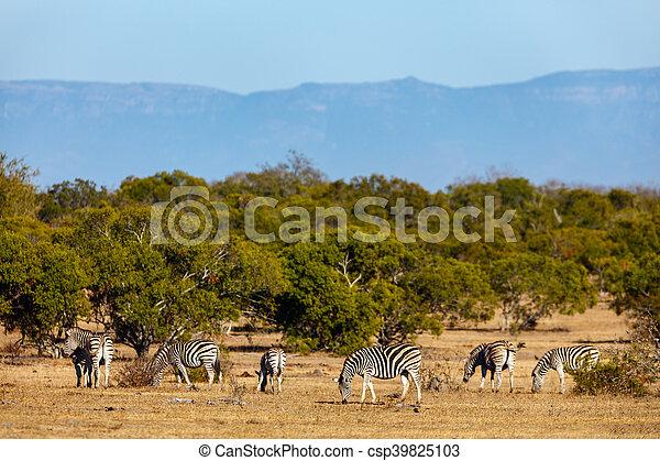 parc, zèbres, safari - csp39825103
