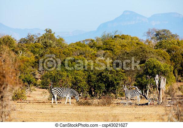 parc, zèbres, safari - csp43021627